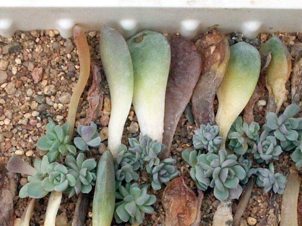 листовые черенки эчеверии