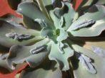эчеверия горбатоцветковая