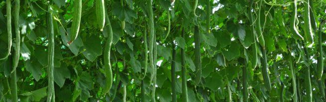 Китайское чудо - урожайный сорт огурцов для вашего огорода