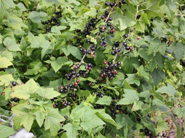 Куст чёрной смородины Добрыня