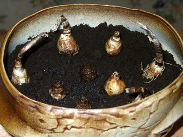 Луковицы зефирантеса в горшке