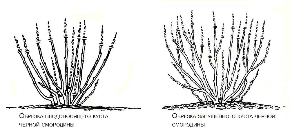 том, обрезка красной смородины весной для начинающих в картинках пошагово пустыне зверек рискует