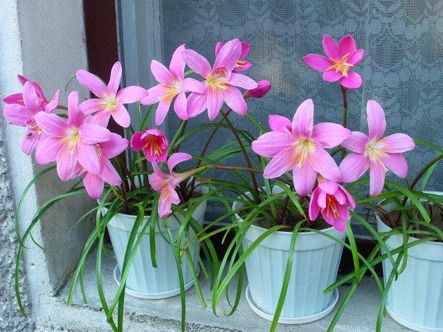 Зефирантес уход в домашних условиях когда цветет