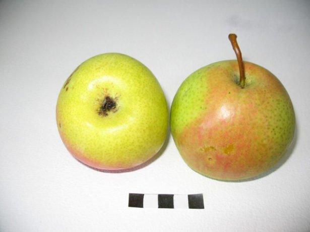 Плоды груши сорта Десертная россошанская