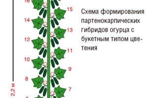 Схема обрезки пучковых огурцов