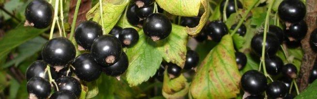 Сорт чёрной смородины Добрыня – витаминный подарок жаркого лета