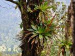 Вриезия – тропический эпифит в вашем доме
