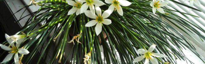 Зефирантес: тонкости ухода за цветущим «выскочкой»