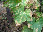 Бурые сухие пятна на листьях огурца