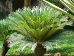 Саговая пальма — гость из мезозойской эры в вашем доме