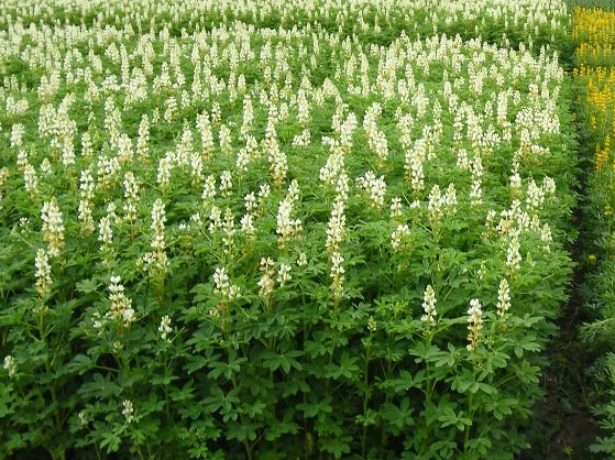 Цветущие посадки люпина