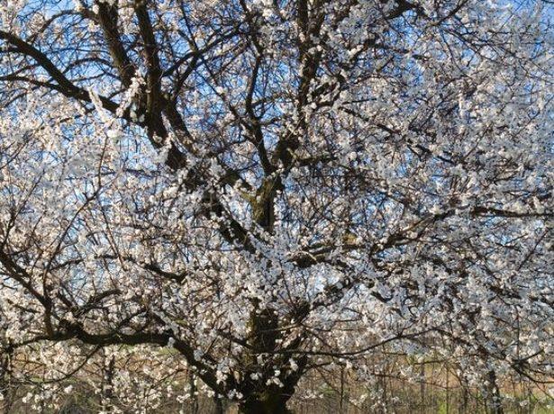 Дерево абрикоса сорта Графиня