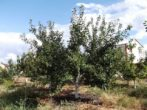 Слива Ренклод Альтана - ароматная сладость лета