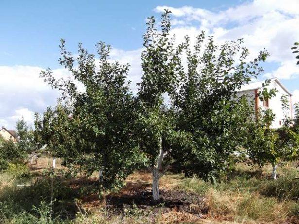 Дерево сливы сорта Ренклод Альтана