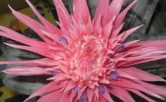 Экзотическая красота: всё о выращивании эхмеи