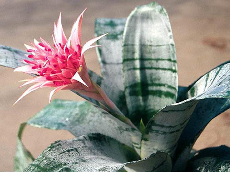 Цветы и уход эхмея