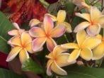 Цветение плюмерии