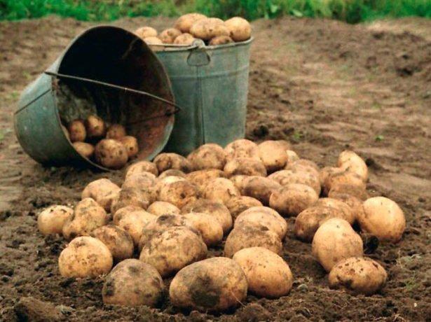 Картофель в ведрах
