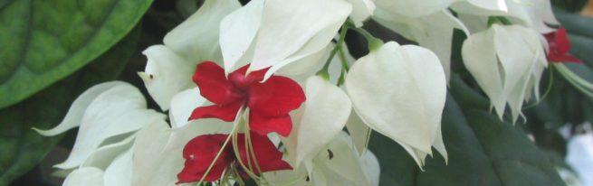Клеродендрум: особенности ухода за тропической лианой