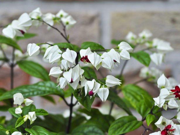 Цветение клеродендрума Томпсона