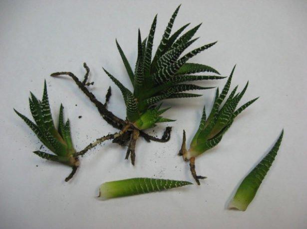Листья хавортии для укоренения