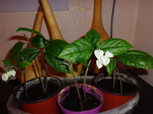 Молодые растения клеродендрума