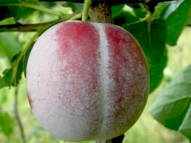 Плод сливы сорта Ренклод Альтана