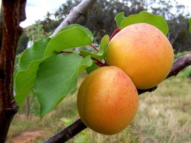 Плоды абрикоса сорта Графиня