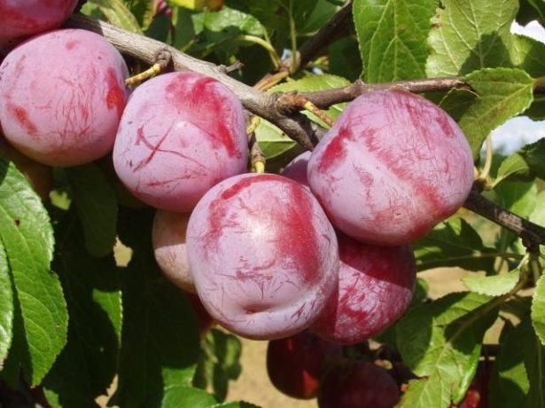 Плоды сливы сорта Ренклод Альтана