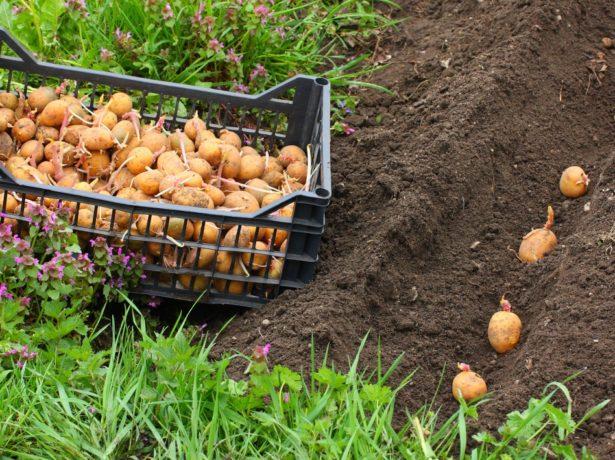 Пророщенный картофель на грунте