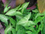 Сингониум: как вырастить дома элегантную лиану из тропического леса