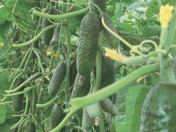 Урожай огурцов на плетях