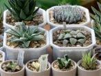 Хавортия: всё о выращивании экзотического суккулента