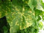 Жёлтые пятна на листе огурца
