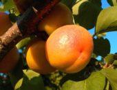 абрикос фаворит