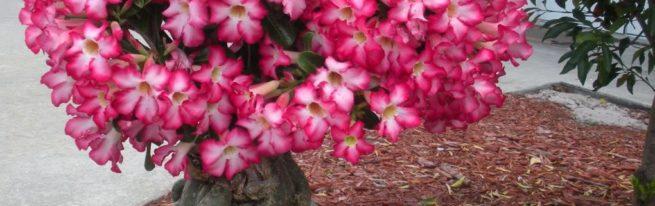 «Пустынная роза»: выращивание адениума в домашних условиях