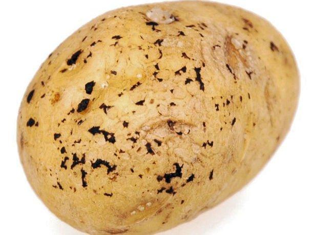 Ризокониоз на клубне картофеля