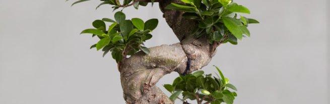 Бонсай из фикуса: как вырастить живую скульптуру?