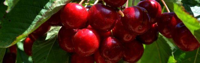 Черешня Овстуженка: секреты выращивания раннеспелой красавицы