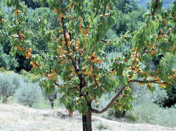 Дерево абрикоса сорта Айсберг
