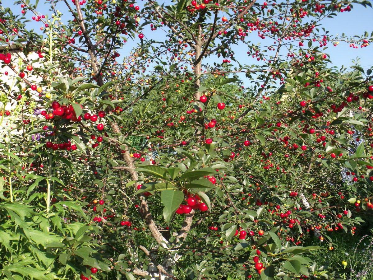 Какими способами происходит опыление деревьев вишни