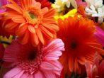 Популярная гербера: как вырастить в домашних условиях прекрасный букет