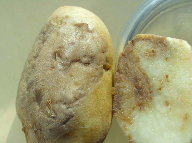 Картофель, поражённый фитофторозом