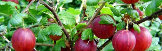 Крыжовник Краснославянский – сладкие ягоды без особых хлопот