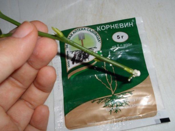 Укоренение черенков