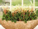 Пеперомия: уход в домашних условиях, особенности выращивания и размножения