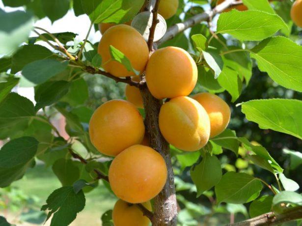 Плоды абрикоса сорта Айсберг