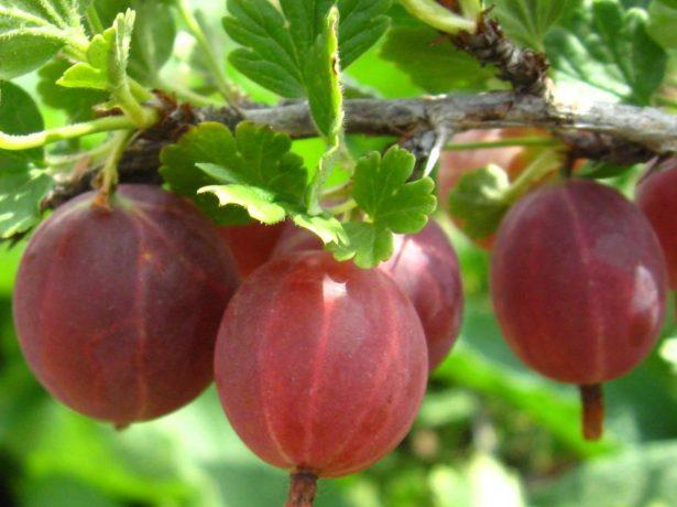 Плоды крыжовника сорта Краснославянский