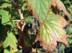 Побуревшие листья смородины
