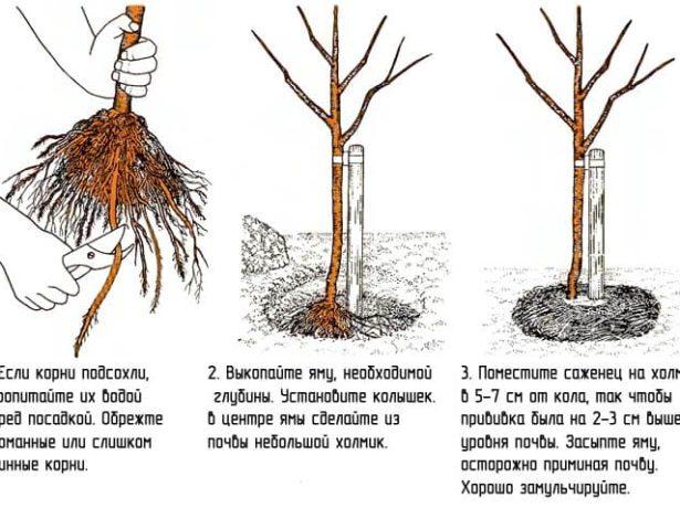 Когда сажают грушу весной или осенью 100